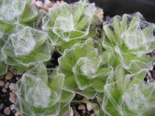 arach. Silver Dew