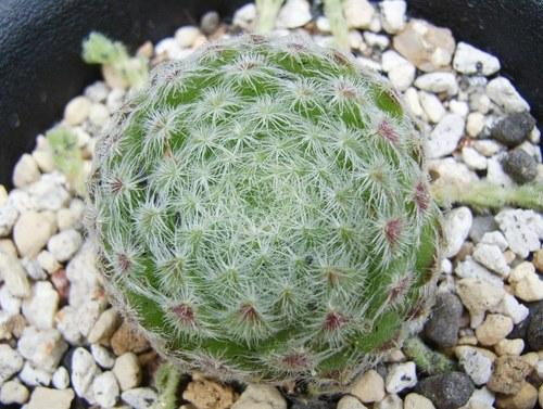 ciliosum  Borisii